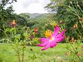 Flor en Edo Carabobo.jpg