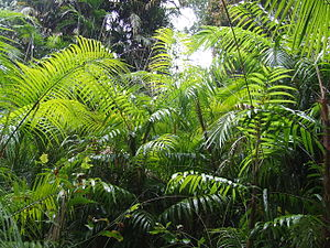 Lake Barrine - Ferns and palm trees on the forest walk