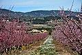 Floració dels presseguers, Sant Martí Sarroca, Alt Penedès. (40262314584).jpg