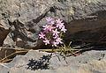 Flors pel barranc de la Cala, el Poble Nou.JPG