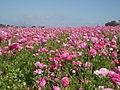 Flower feld 11.jpg