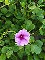 Flower in sri lanka.jpg