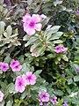 Flowers of Baghdad 15.jpg