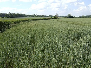 English: Footpath along the wheat field The pu...