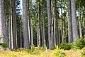 Forest in Harz National Park.jpg