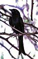 Fork-tailed Drongo (Dicrurus adsimilis) (7662891878).jpg