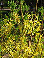 Forsythia in the Japanese garden 01.JPG