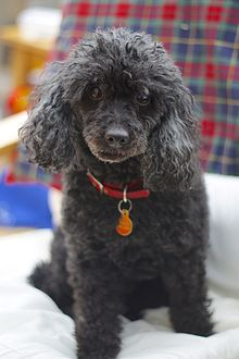 Dogs Poodles For Adoption