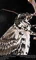 Freshly-eclosed Rustic Sphinx Month (Sphingidae, Manduca rustica (Fabricius)) (33351501445).jpg