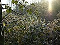 Frosty Brambles near Red Brook - geograph.org.uk - 647979.jpg