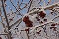 Frosty Day in Astana - Trees in Our Front Yard (8283996558).jpg