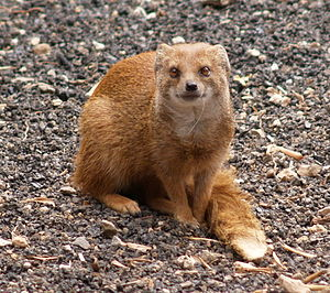 Yellow mongoose - Yellow mongoose