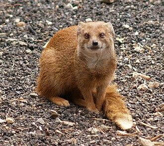 Yellow mongoose - Yellow mongoose