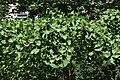 Fulles de ginkgo al jardí d'Aiora de València.jpg