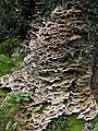 Fungi growing on a tree at The Argoed - geograph.org.uk - 262813.jpg