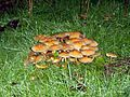 Fungi on West Down, near Chilbolton - geograph.org.uk - 265135.jpg