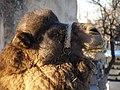 Göreme Camel (8275535680).jpg