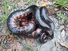Mud Snake Wikipedia