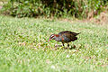 Gallirallus philippensis Lord Howe Island 1 - uncropped.jpg