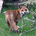 Garden fox 1 (3412447016).jpg