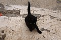 Gato negro en Mancha Blanca, Lanzarote 03.jpg