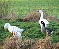 Geese foraging by the River Nar - geograph.org.uk - 1639056.jpg