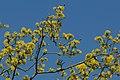 Gele kornoelje te Zwalm - 372393 - onroerenderfgoed.jpg