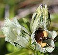 Gentiana algida (bee s2).JPG