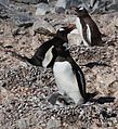 Gentoo Penguins with chicks (6122952702).jpg