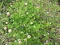 Geranium bicknellii 1-eheep (5097302867).jpg