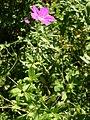 Geranium palustre habitus 1 AB.jpg