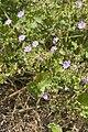 Geranium pyrenaicum velennes 80 10062008 3.jpg