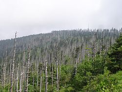 Fraser Firs at Great Smoky Mountain National Park