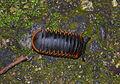 Giant Pill Millipede (Zephroniidae) (20821711074).jpg