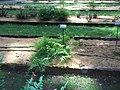 Giardino botanico di Brera (Milan 06.jpg