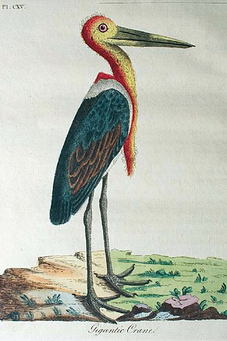 "Greater adjutant - ""Gigantic Crane"" from Latham's General Synopsis of Birds (1781–1801)"