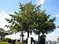 Ginkgo biloba of Honkouji.jpg