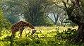 Giraffe-3-.jpg