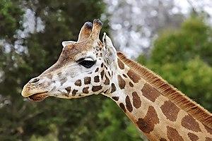 Giraffe (Giraffa camelopardalis), Melbourne Zo...