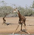 Giraffe (Giraffa camelopardalis) coming to drink ... (31353452483).jpg