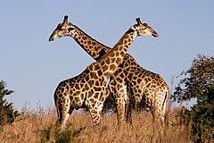 Giraffe Ithala KZN South Africa Luca Galuzzi 2004.JPG