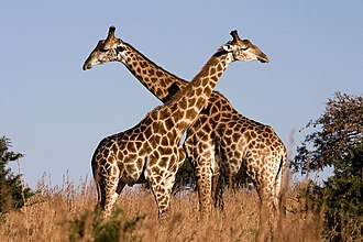 Here, male South African giraffes engage in low intensity necking to establish dominance, in Ithala Game Reserve, Kwa-Zulu-Natal, South Africa. Giraffe Ithala KZN South Africa Luca Galuzzi 2004.JPG