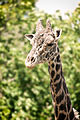 Giraffe Long Neck (18117911896).jpg