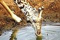 Giraffe lässt sich die Ohren putzen - panoramio.jpg