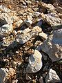 Gisement d'ammonites Méjannes-le-Clap abc1.jpg