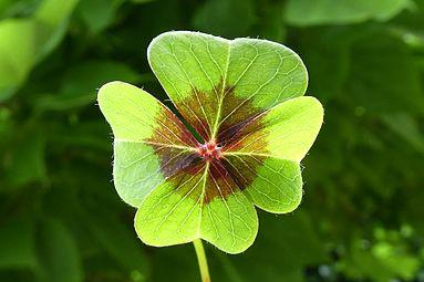 Glücksklee, Oxalis tetraphylla.jpg
