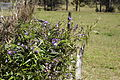 Glycine clandestina plant15 (15283077481).jpg