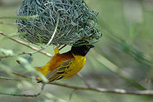 Yellow weaver (bird) with black head hangs upside-down of nest woven out of grass fronds