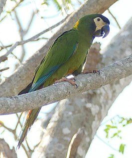 Golden-collared Macaw (Primolius auricollis) (cropped).jpg