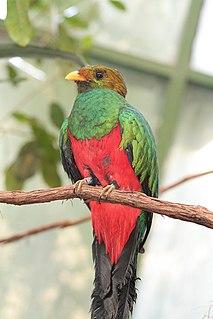 Golden-headed quetzal species of bird